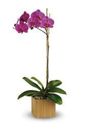Imperial Orchid Plant