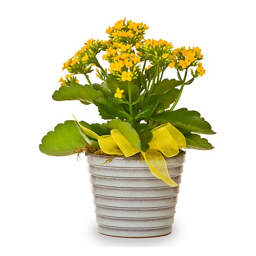 Potted Kalanchoe