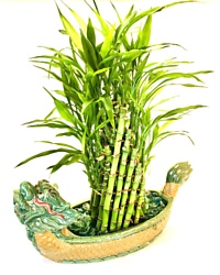 Lucky Bamboo Dragon Planter