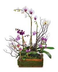 Blooming Orchid Planter