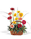 Gerberas in Wicker Basket